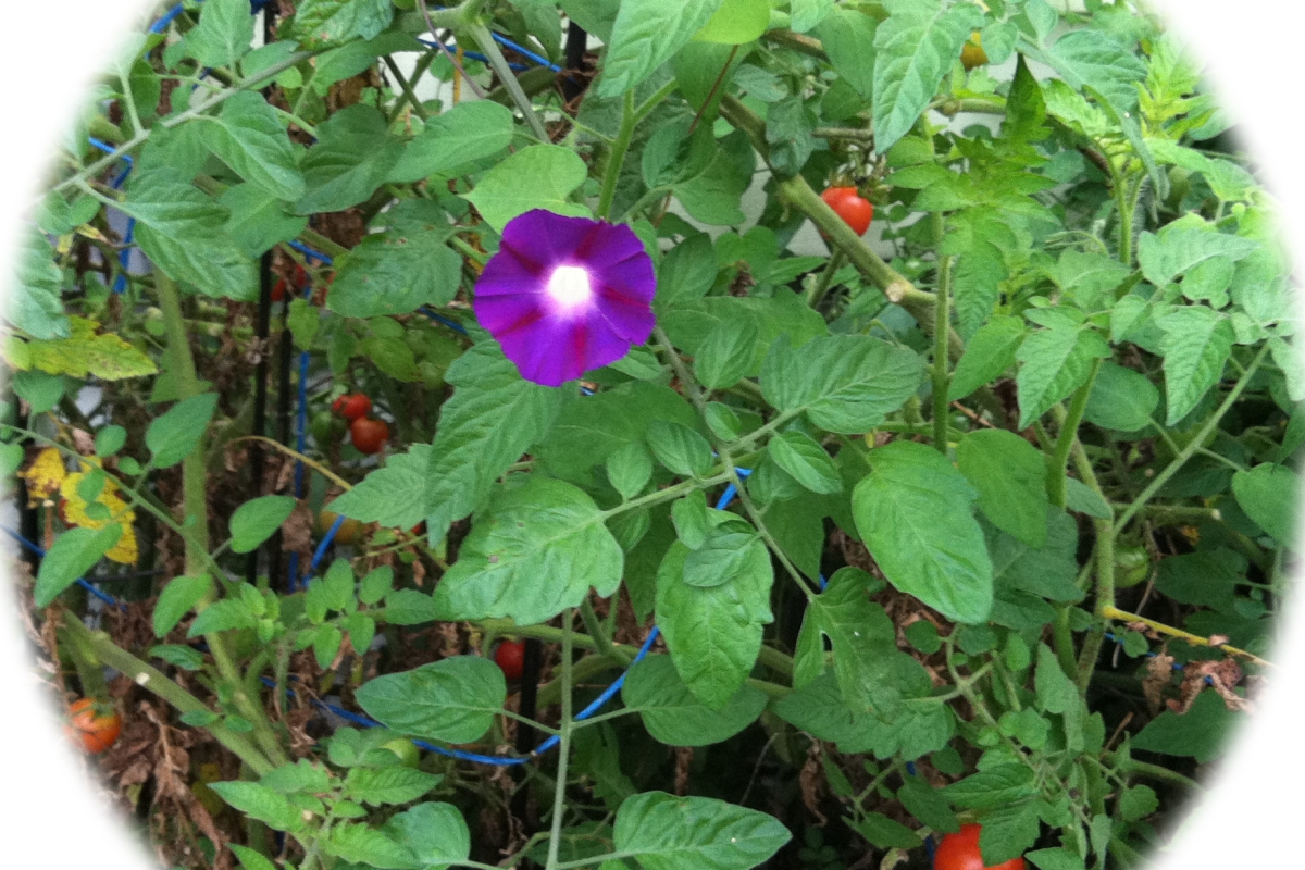 Morning glory in tomatoes