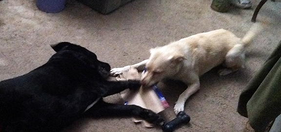 two dogs fighting over a box