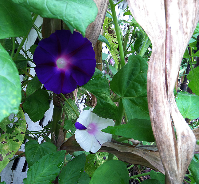 Purple and striped morning glories