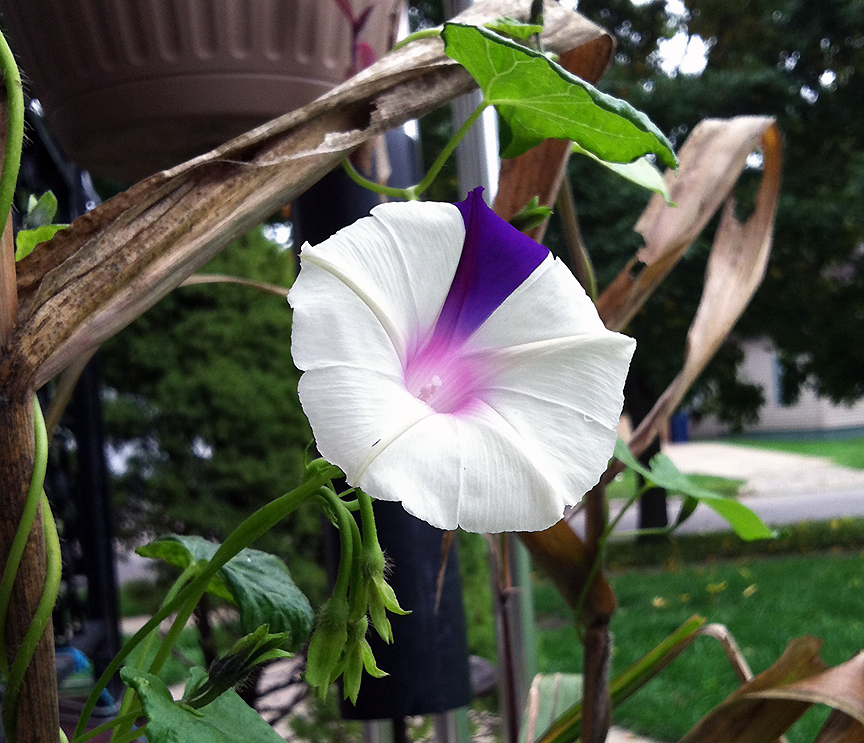 White morning glory with purple stripe