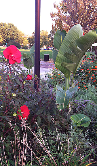 tall tropical plant in flower bed