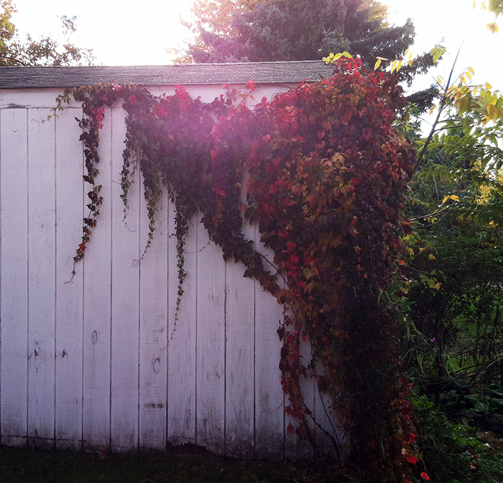 Vines with autumn coloring