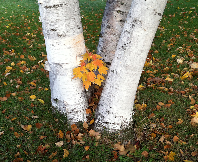 A tiny maple tree growing out of the base of a birch tree