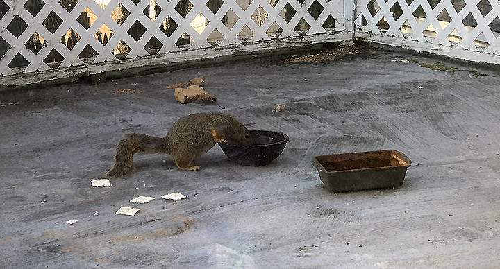Squirrel drinking water from a red glass bowl