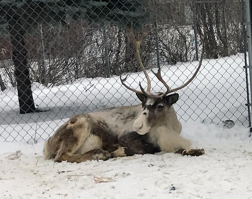 Reindeer lying in snow