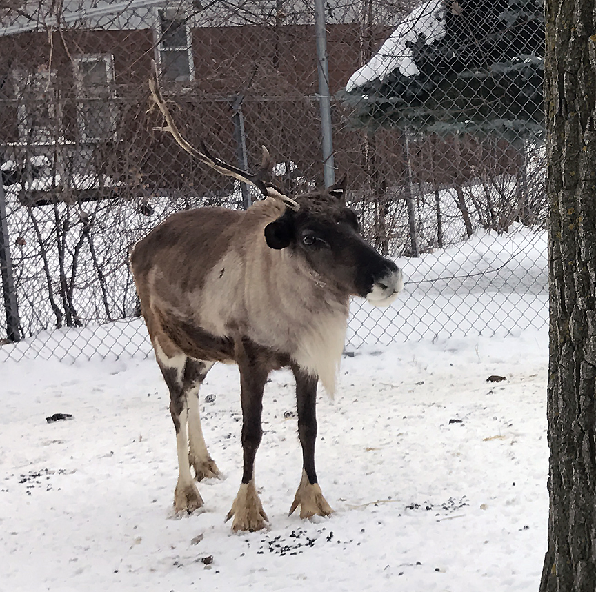 A reindeer with one antler
