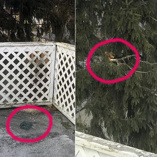 Side-by-side photos, one of an empty suet cake cage, the other of a squirrel in a Norwegian pine eating said suet cake