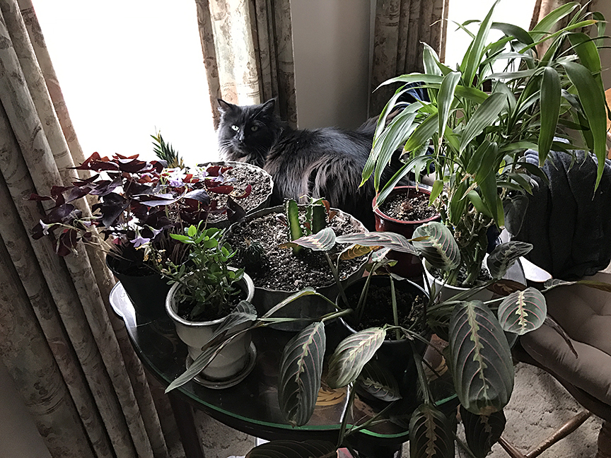 My cat Daryl on a table of plants by the window