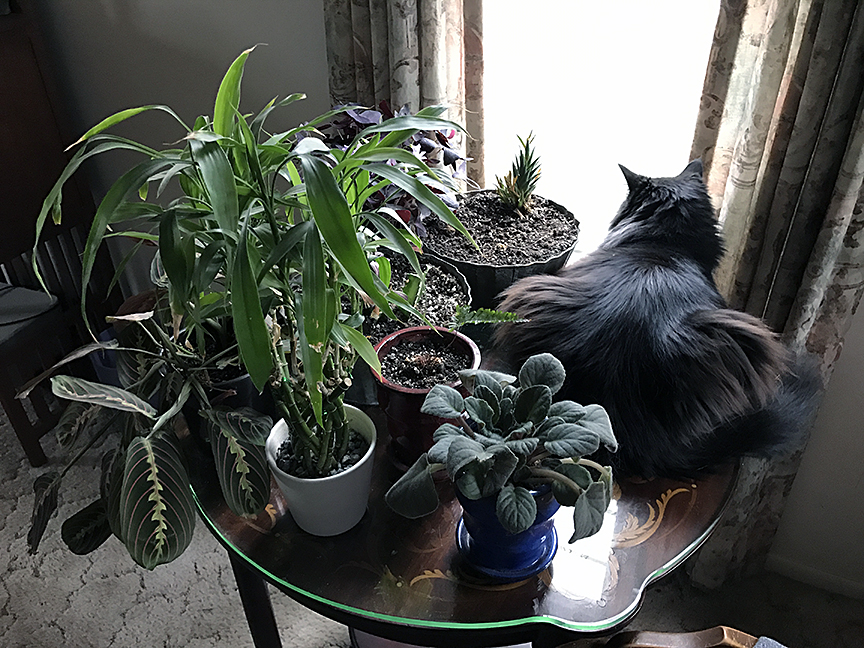 My cat Daryl on a table of plants, looking out the window