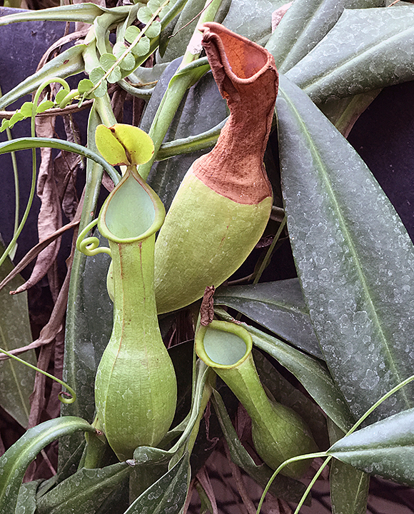 Pitcher plants in Dow Gardens Conservatory