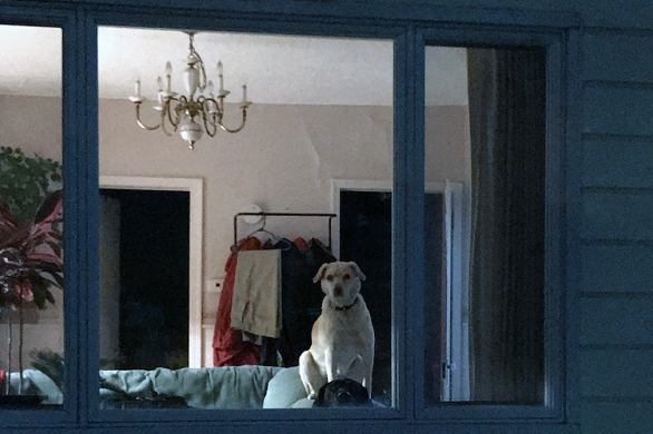 My dogs standing watch at the window