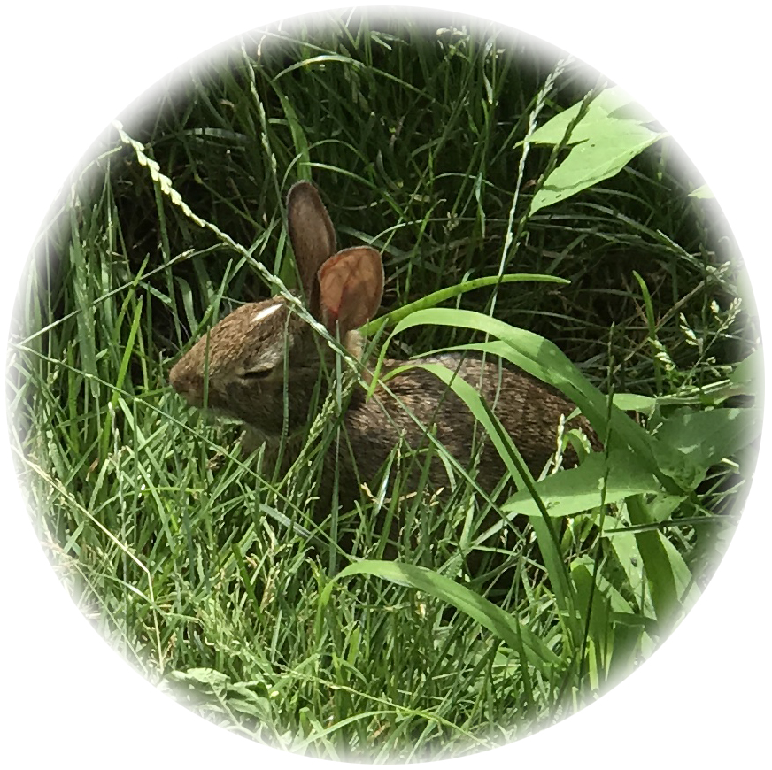 Wild rabbit with eyes closed