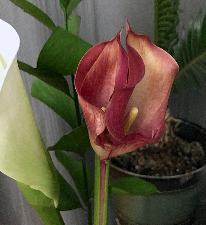 Calla lilies, one white and one red that is split in two