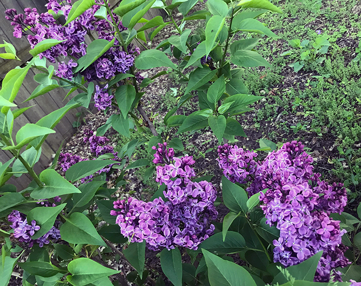 Lilac bush in backyard